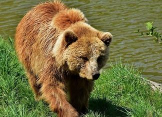 Braunbär-Bär-Bärenangriff