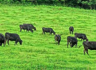 Japanische Forscher bestätigen, dass das Anmalen von Kühen wie Zebras tatsächlich den Tieren hilft